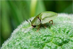 Cassida viridis sur menthe sauvage