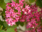cassis-fleur