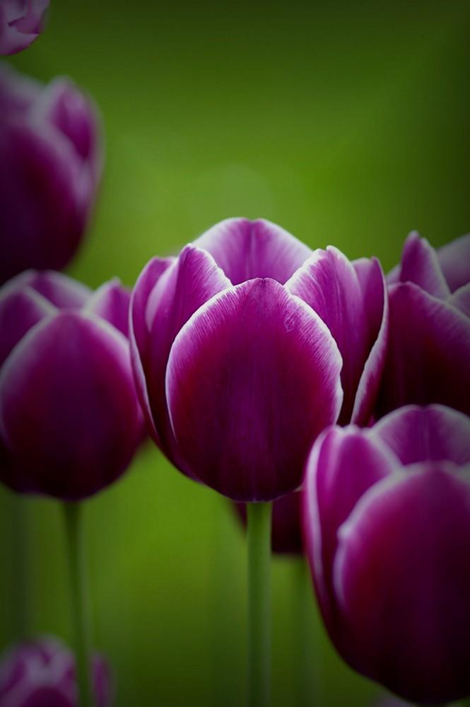 Cassis-Vanille Tulpen für Elke