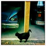 cat and cars