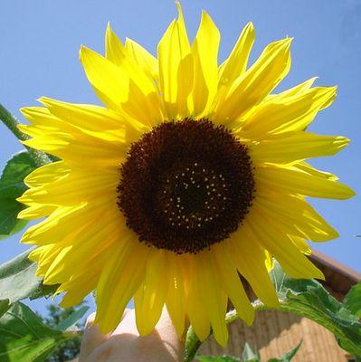 Catch the Sun(Flower)