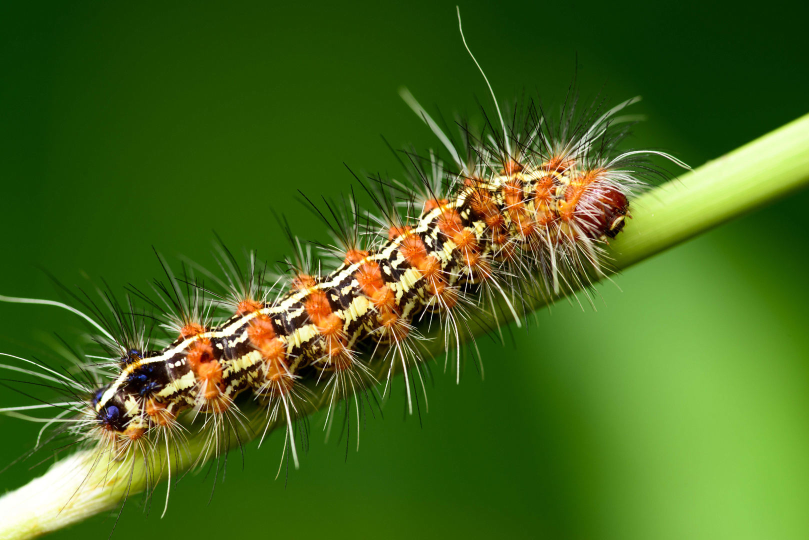 Caterpillar in Paraitepuy, Venezuela