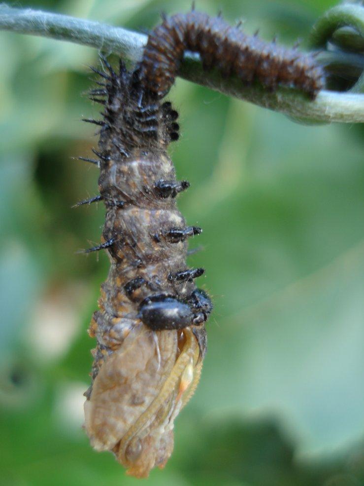 caterpillar/chrysalis