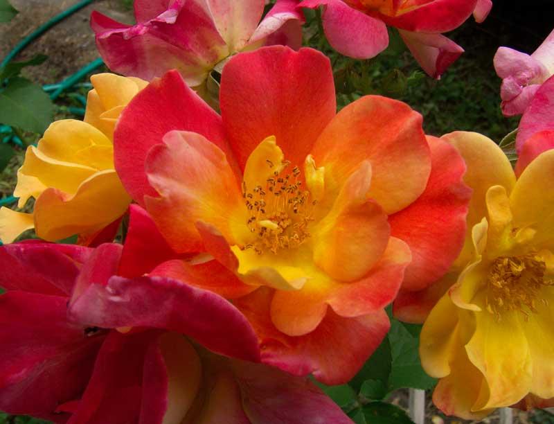 Cathy's Rose