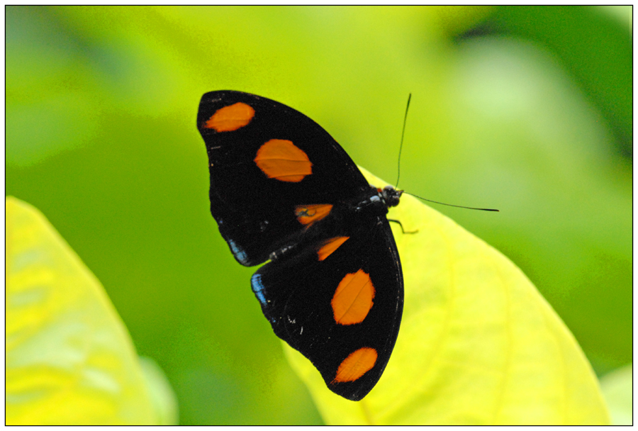 Catonephele numilia mâle