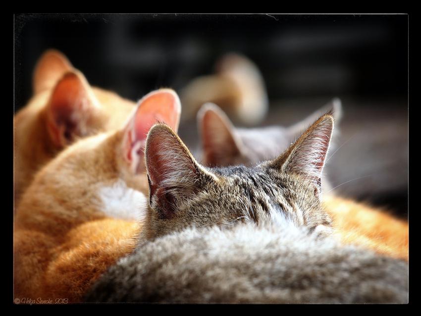 cat's ears