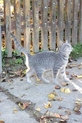 cats Hongrois