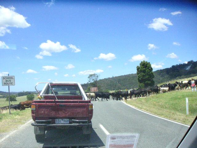 cattle crossing street