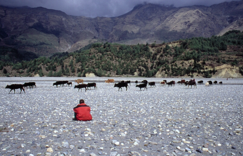 Cattle drive in Kali Gandaki Vally