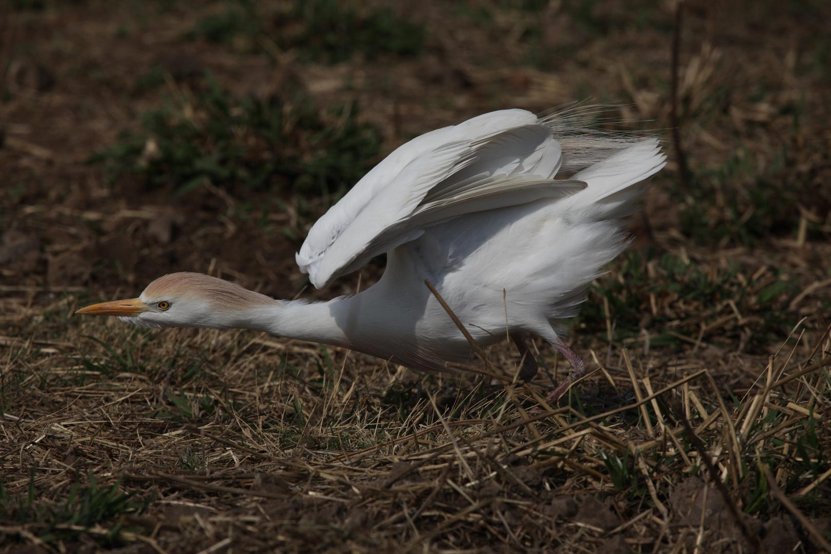 Cattle Egret (Kuhreiher) bereit zur Attacke