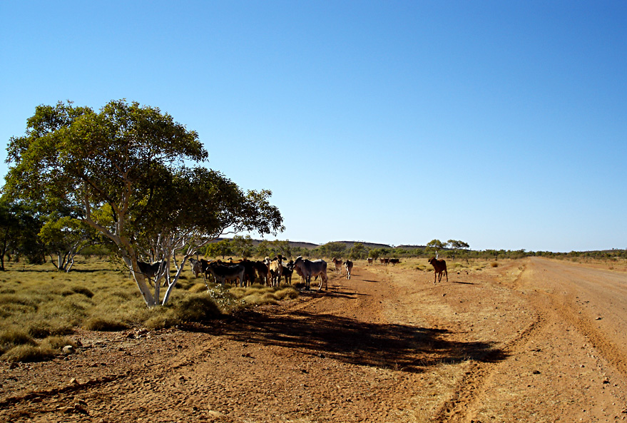 Cattle on Tanami Track, I