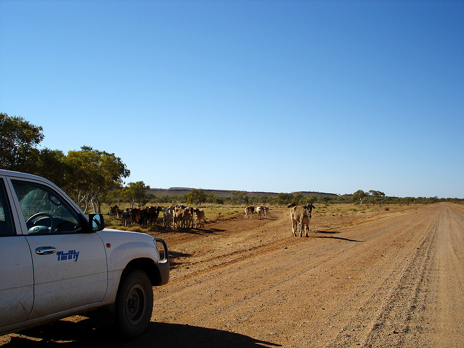 Cattle on Tanami Track, II