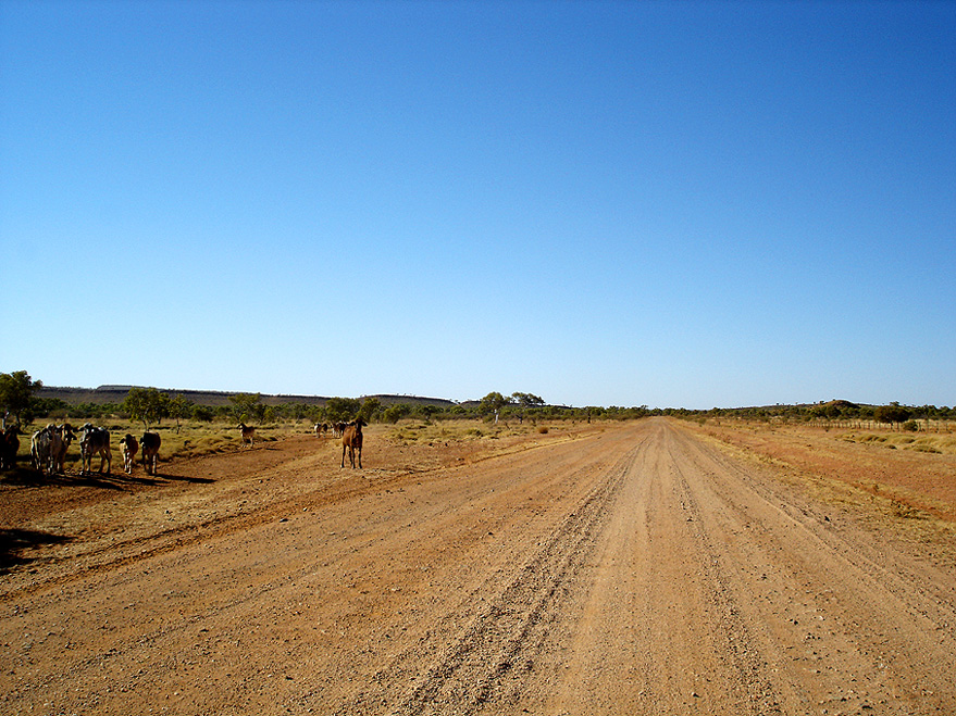 Cattle on Tanami Track, III