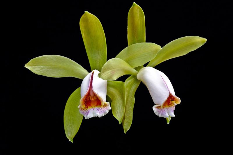 Cattleya forbesii