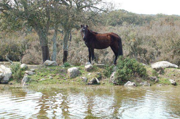 Cavallino della giara di Gesturi