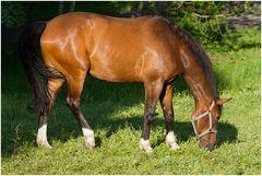 Cavallo della Madonna