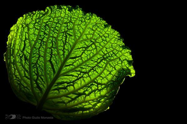 Cavolo Verza Gorgonia verde