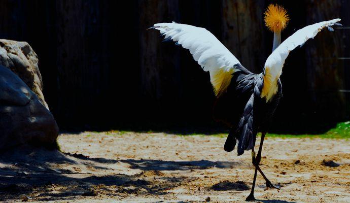Ce qu'il aime pavaner cet oiseau!