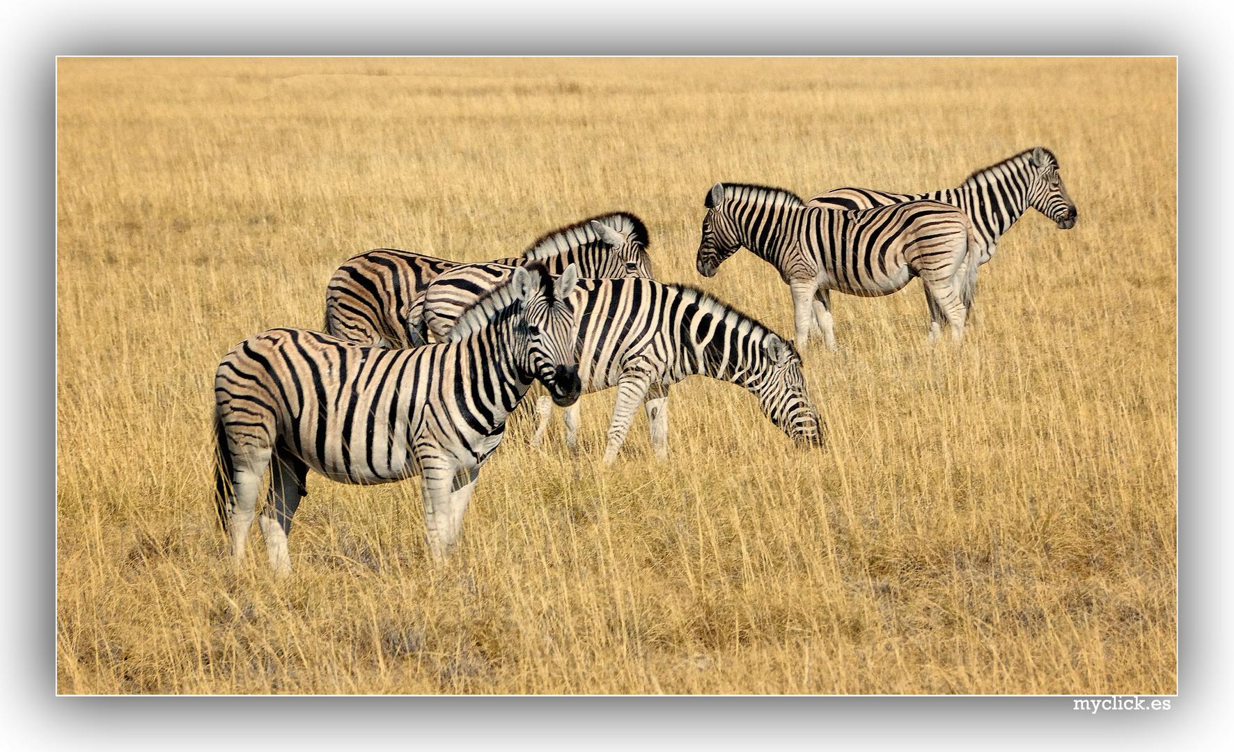 CEBRAS EN ETHOSA-NAMIBIA