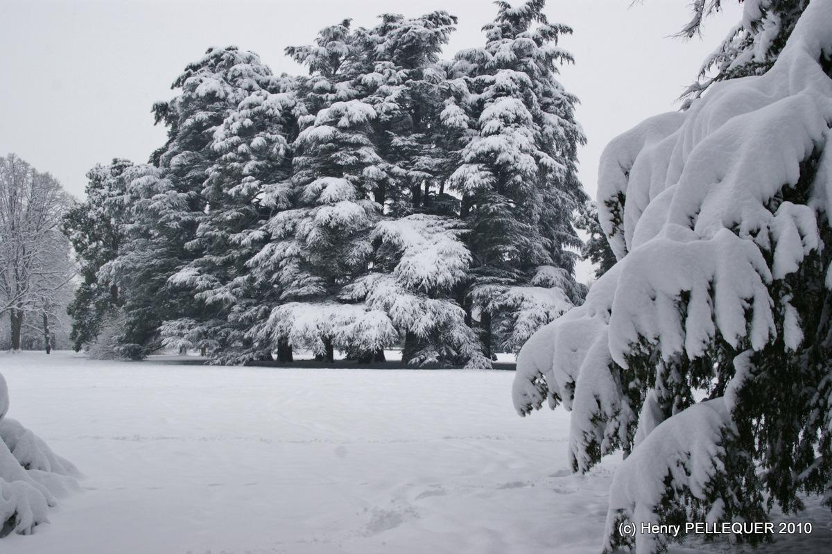 Cèdres recouverts d'un joli manteau blanc.
