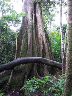 Ceiba - las venas de la naturaleza