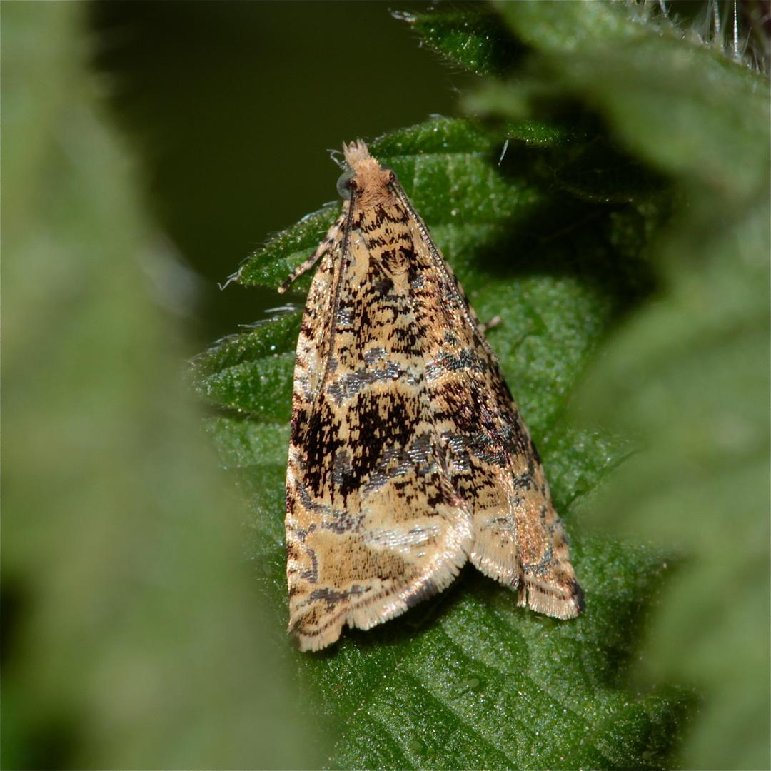 Celypha (cespitana?) - ein schöner Kleinschmetterling (Microlepidoptera)