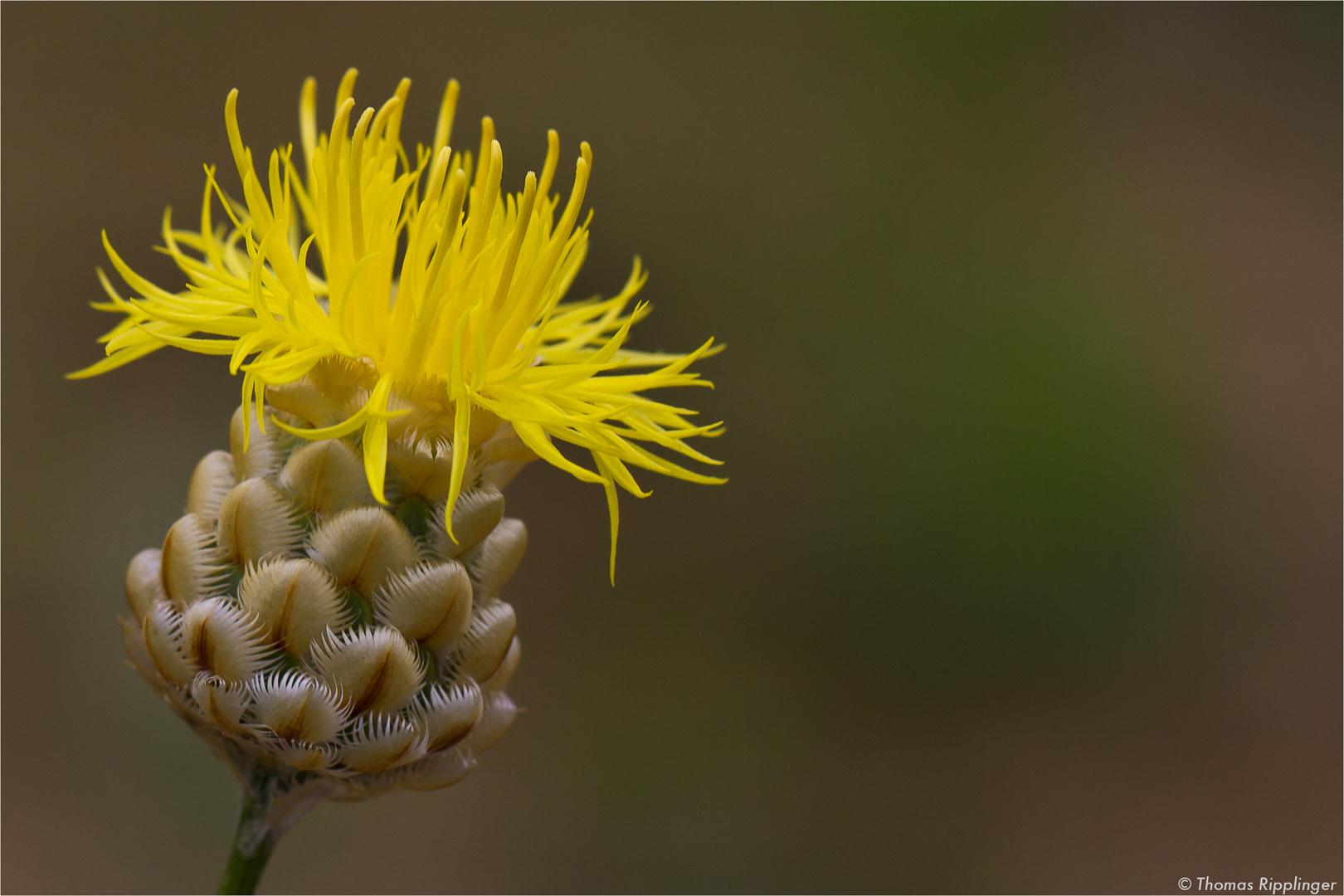 Centaurea orientalis (Orient-Flockenblume)..