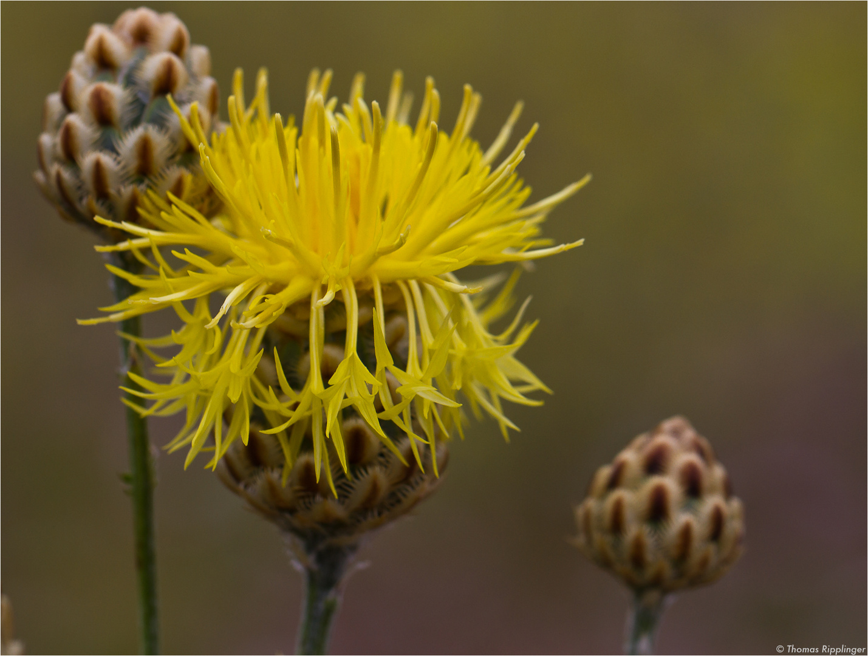 Centaurea orientalis (Orient-Flockenblume)