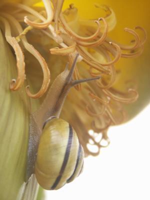 Cepea hortensis V87
