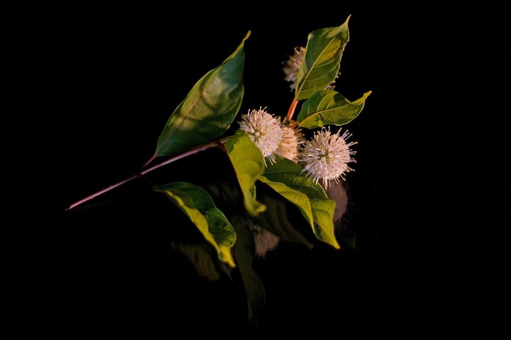 Cephalanthus occidentalis (Knopfstrauch)