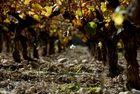 Ceps de vigne et terroir...