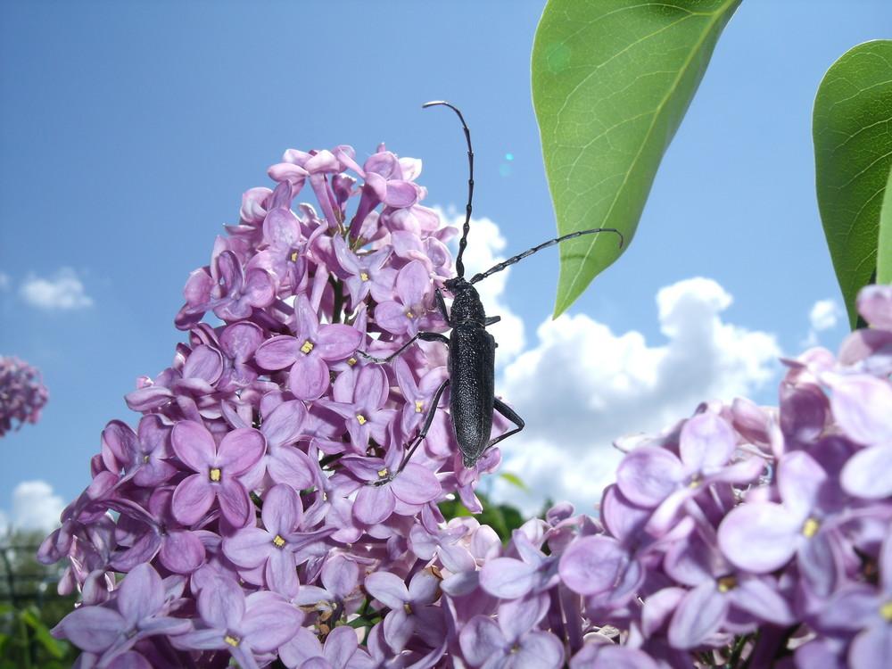 Cerambyx nodulosus Germ. (Cerambycidae)