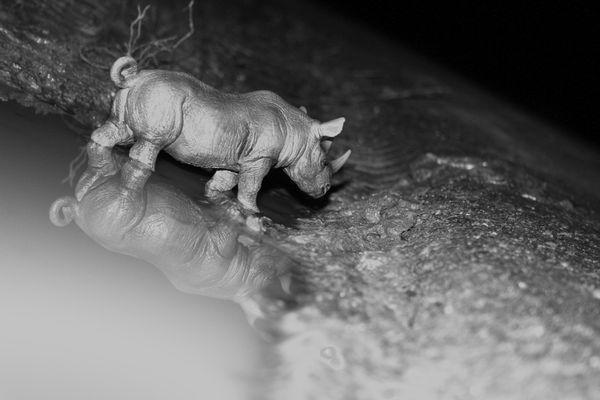 Ceratotherium duo