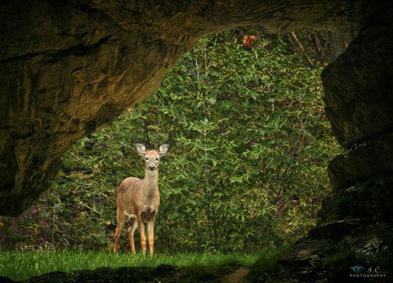 Cerbiatto dalla grotta