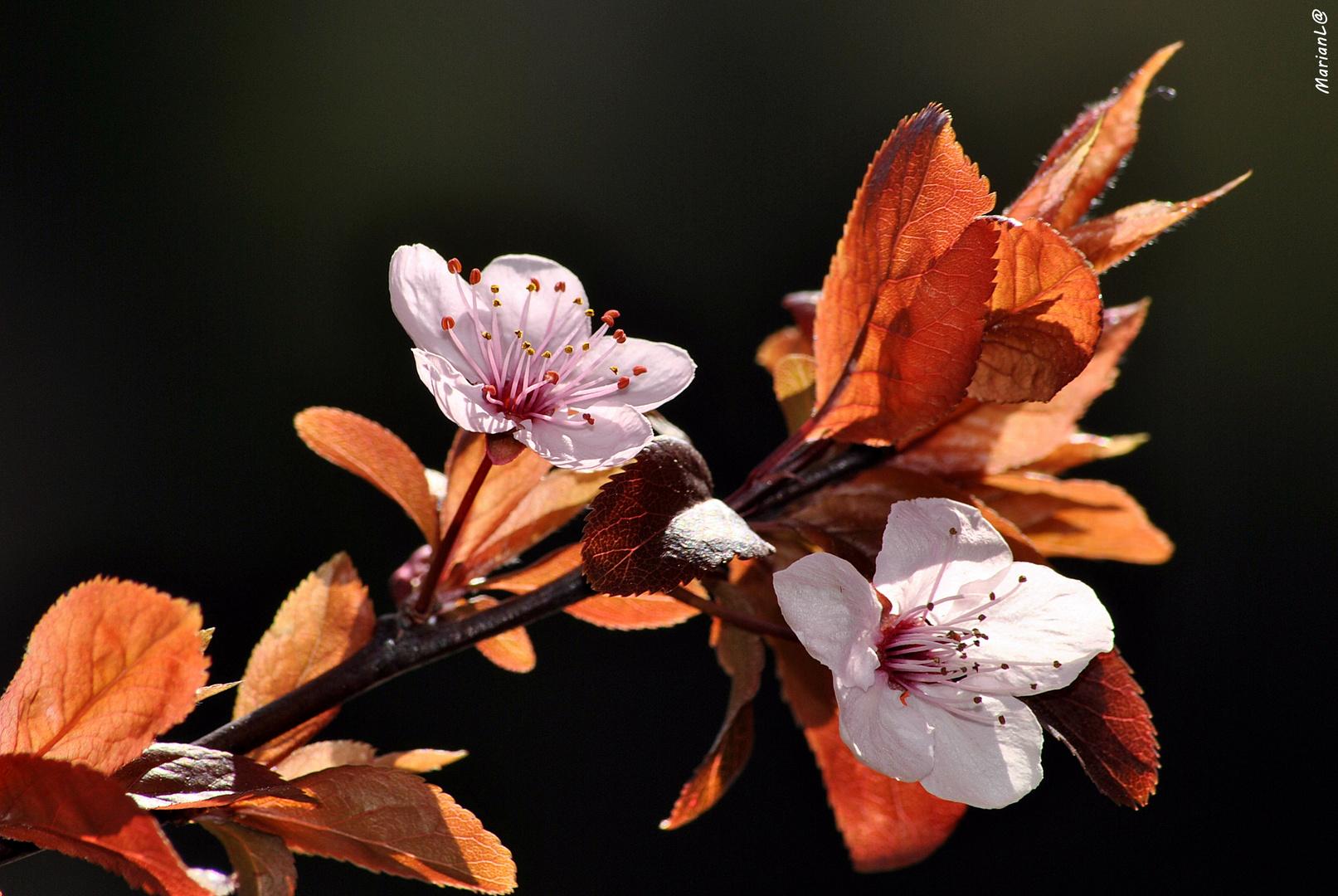 Cerezo de jardin