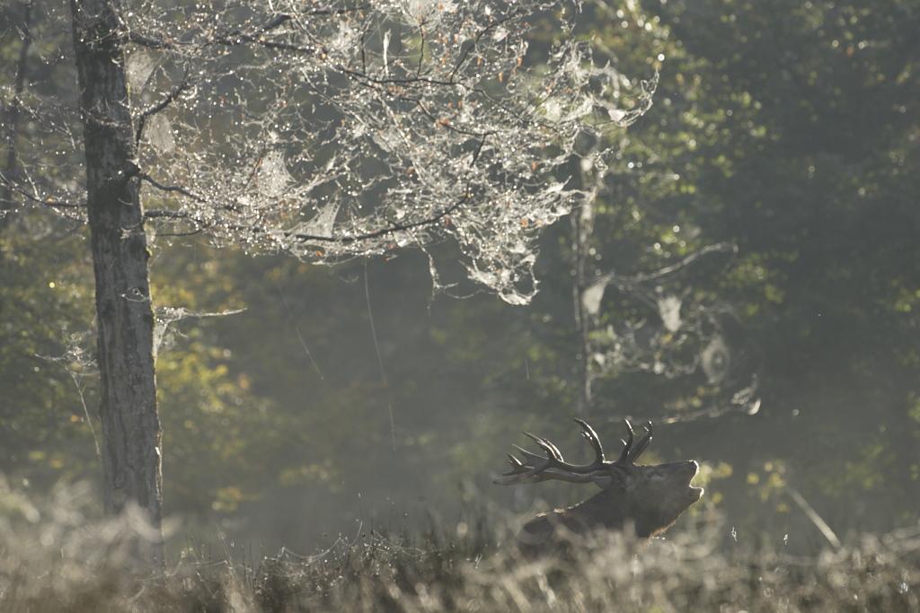 Cerf bramant et toiles d'araignées