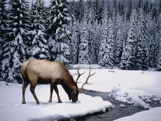 Cerf dans la neige