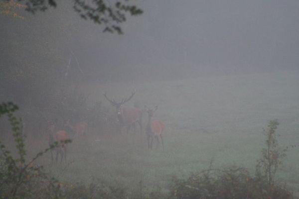 Cerf et sa harde dans la brume