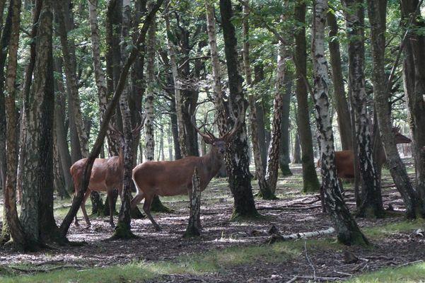 Cerfs en forêt