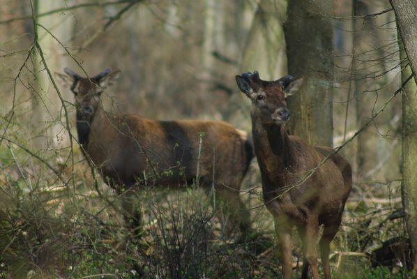 Cerfs mulets en forêt de Chantilly