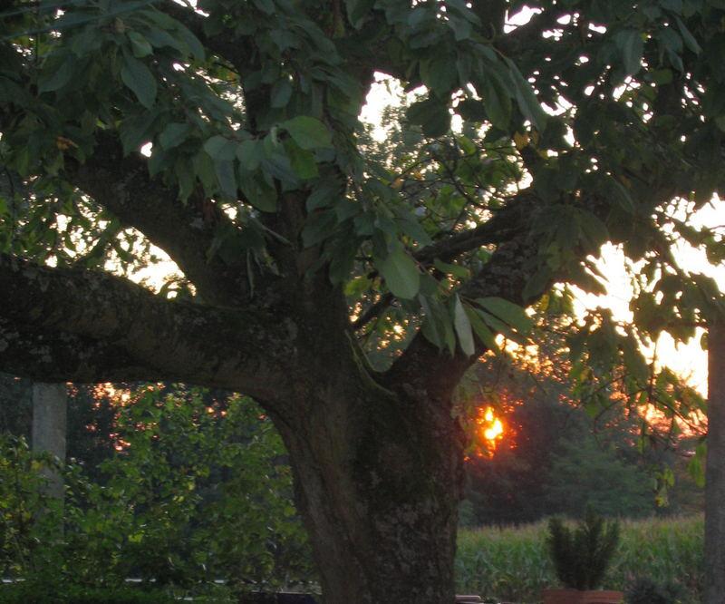 Cerisier à la lumiere du soir