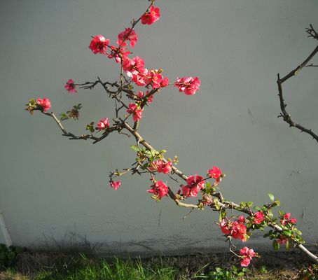 Cerisier du Japon