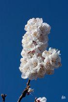 Cerisier en coeur..!!??