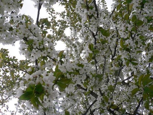 Cerisier en fleur...