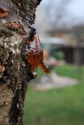 Cerisier mâle