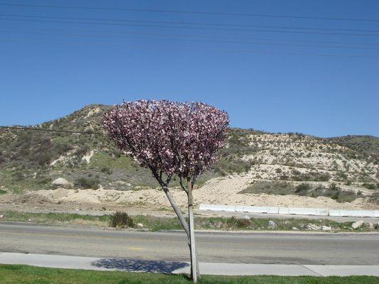 Cerisier sur la route de Las Vegas