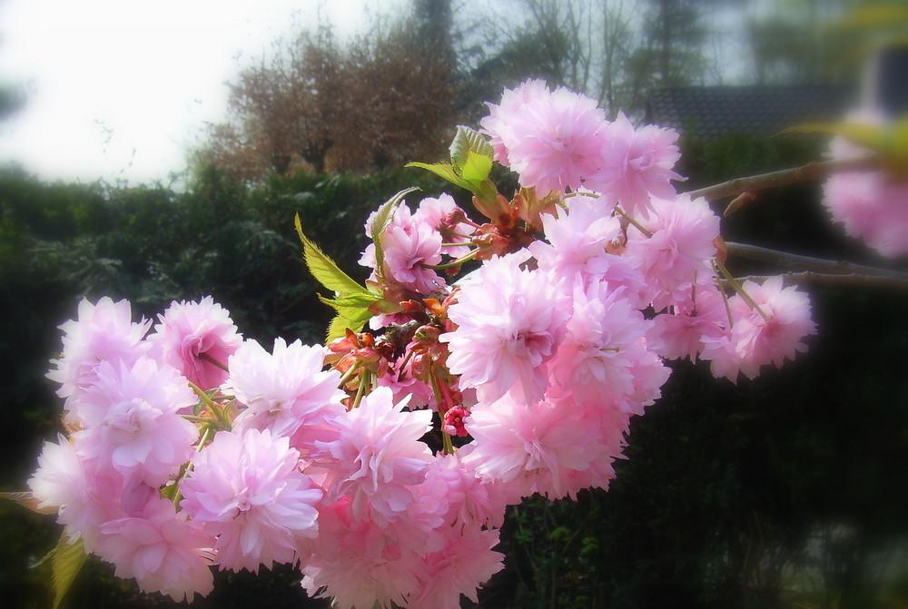 cerisiers roses et pas de pommiers blancs