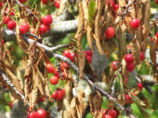 Cerisiers sur l'Ile d'Oléron