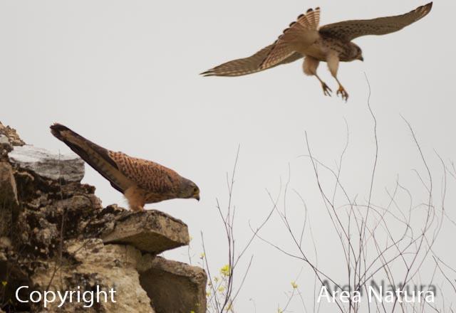 Cernicalo vulgar. (Falco tinnunculus). 34 cms.