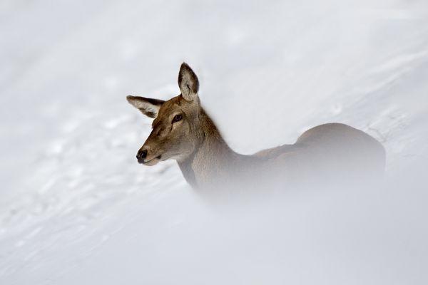 Cerva nella neve